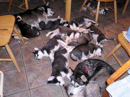 Mercier_puppies