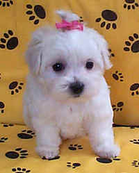 Maltese_puppy_04